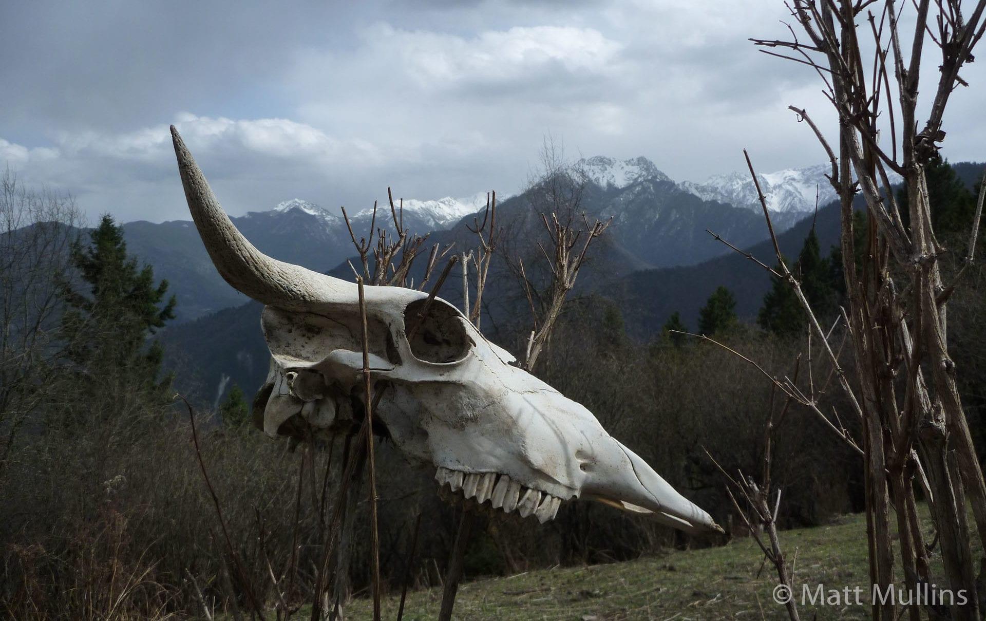 Yak Skull near Tibet